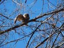 Barrd Owl Waving Goodbye stockbilder