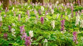 Barre oblique dans la forêt remplie de jacinthes Photo libre de droits