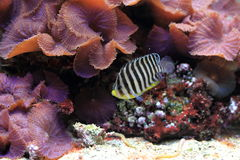Barred angelfish Royalty Free Stock Images
