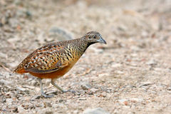 Barred Buttonquail bird Stock Image