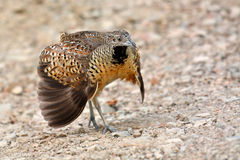 Barred Buttonquail bird Stock Images