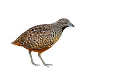 Barred Buttonquail bird Royalty Free Stock Image