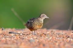 Barred Buttonquail Bird Stock Photos