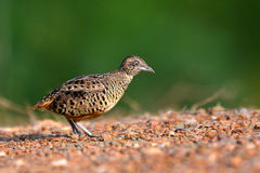 Barred Buttonquail Bird Royalty Free Stock Photography