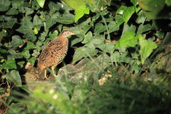 Barred buttonquail Stock Photos
