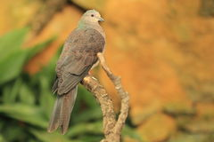 Barred cuckoo-dove Royalty Free Stock Photos