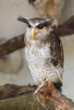 Barred eagle owl, Bubo sumatranus. Barred eagle owl or Malay eagle owl Bubo sumatranus Stock Photography
