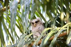 Barred eagle-owl Royalty Free Stock Photo