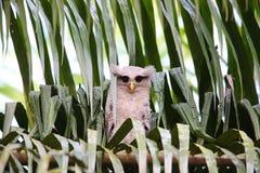 Barred eagle-owl Stock Image