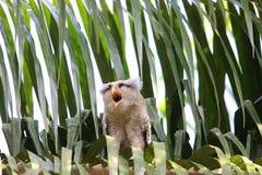 Barred eagle-owl Stock Photo