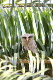 Barred eagle-owl Stock Images