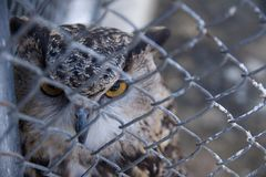 Barred Eagle-Owl in the zoo. selective focus. Animal bird feather portrait wild wildlife beak beautiful brown bubo wing look nature predator beauty cute royalty free stock image