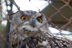Barred Eagle-Owl in the zoo. selective focus. Animal bird feather portrait wild wildlife beak beautiful brown bubo wing look nature predator beauty cute stock photo