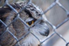 Barred Eagle-Owl in the zoo. selective focus. Animal bird feather portrait wild wildlife beak beautiful brown bubo wing look nature predator beauty cute stock photos