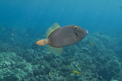 Barred Filefish Royalty Free Stock Image