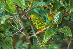 Barred Fruiteater Stock Photo
