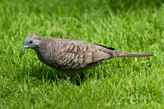 Barred Ground Dove. (Geopelia striata) feeding on a lawn in Mauritius Stock Image