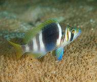 Barred Hamlet. Hypoplecturs puella on a reef in south east Florida Stock Photo