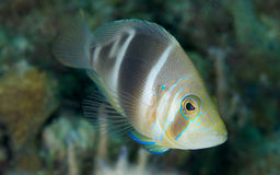 Barred Hamlet Royalty Free Stock Image