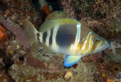 Barred Hamlet. Hypoplectrus puella picture taken in south east Florida Stock Image