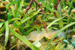Barred hamlet fish Hypoplectrus puella. A barred hamlet fish, Hypoplectrus puella, underwater with marine life and  turtlegrass on the seabed, Caribbean sea Royalty Free Stock Photos