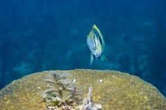Barred Hamlet. In Florida Keys Barrier Reef stock image