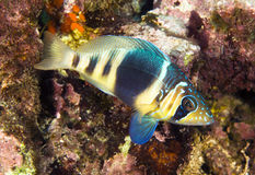 Barred hamlet. A barred hamlet swimming in the waters of Roatan Honduras royalty free stock photo