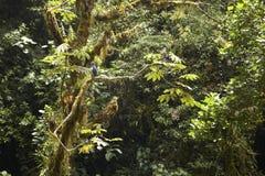 Barred Hawk, Panama Royalty Free Stock Image