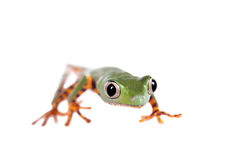 Barred leaf frog isolated on white Royalty Free Stock Photos
