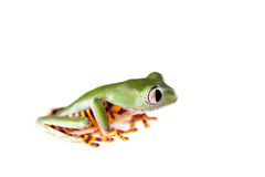 Barred leaf frog isolated on white Royalty Free Stock Image