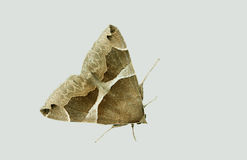 Barred moth - isolated on grey Royalty Free Stock Image