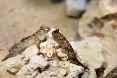 Barred mudskipper Royalty Free Stock Images