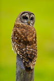 Barred Owl 1 Stock Photos