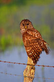 Barred Owl. Wild Barred Owl sitting on a fence post early in the morning hunting royalty free stock image