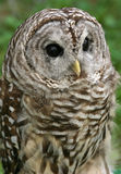 Barred Owl. Beautiful barred owl royalty free stock images
