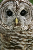 Barred Owl. Close-up of a barred owl stock photo
