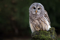 Barred Owl. Closeup of a Barred Owl against a blurred background stock images