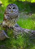 Barred Owl. A Barred Owl, Strix varia, bird of prey sits patiently on a tree stump at Homosassas Springs State Park in Florida. The Barred Owl has brown eyes royalty free stock photography