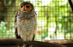 Barred Owl Stock Images