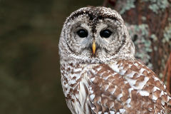 Barred Owl. Closeup of a curious Barred Owl in Ontario, Canada stock photo