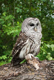Barred Owl. Adult Barred Owl Perched on Tree Trunk stock photos