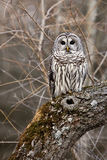 Barred Owl. Wild Barred Owl in Brighton, Ontario stock image