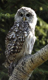 Barred Owl. (Strix varia) on the tree (spruce as background royalty free stock photo