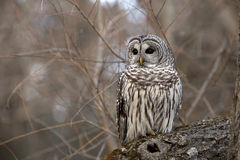 Barred Owl. Wild Barred Owl sitting on a log in Brighton, Ontario royalty free stock photos