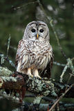 Barred Owl. Closeup of a wild Barred Owl in Ontario, Canada royalty free stock photos