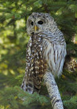 Barred Owl. (Strix varia) with spruce as background stock images
