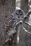 Barred Owl. Closeup of a wild Barred Owl in the winter royalty free stock photo