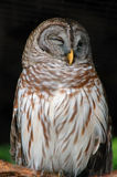 Barred owl. Large barred owl winking at the camera royalty free stock photos