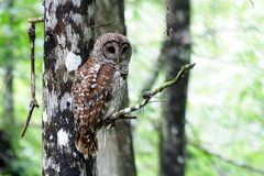 Barred Owl. In Big Cypress National Preserve, Florida Everglades stock image