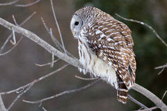 Barred Owl. Royalty Free Stock Photo
